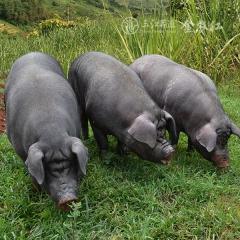 黑毛土猪活猪